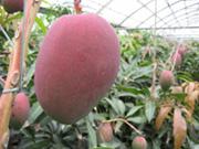 一つの枝に一つの果実