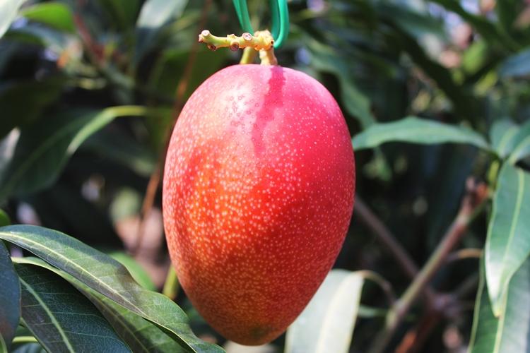 完熟アップルマンゴー