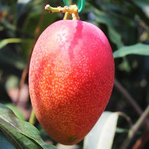 宮崎県日南産 完熟アップルマンゴー