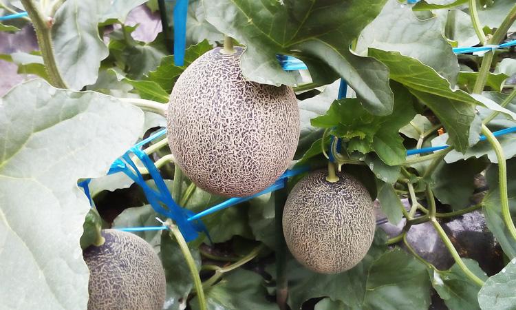 熊本県産SUN-Q(サンキュー)立体栽培タカミメロン